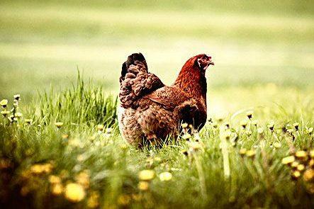 Pas op! Kippenvlees zit vol met bacteriën