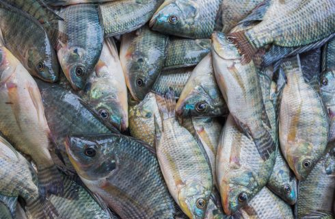 Gezondheidsexperts waarschuwen: Stop met het eten van Tilapia!