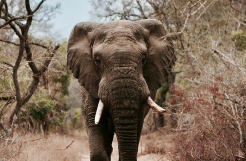 Jachttrofeeën van olifanten weer toegestaan in de VS!